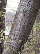 Tilia americana (Basswood)