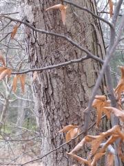 Quercus alba (White oak)?
