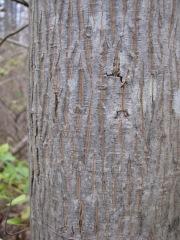 Carya cordiformis (Bitternut hickory)