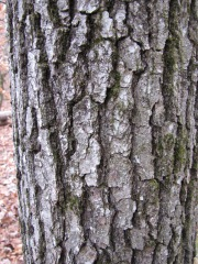 Quercus velutina (Black oak)