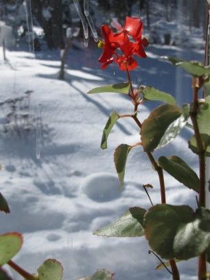 Begonia semperfloren