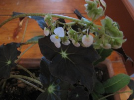 Rex Begonia (I assume)