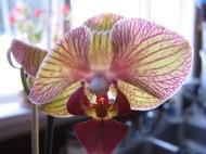 Phalaenopsis 'Baldan's Kaleidoscope'