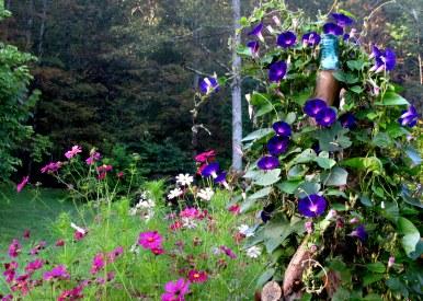 Photo_Jif_Ipomoea purpurea Grandpa Ott,Cosmos