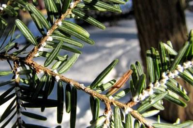 HWA on twig