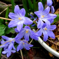 Chionodoxa luciliae (Glories of the snow)