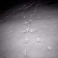 Photo_Jif-Turkey tracks (2)