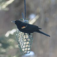 Agelaius phoeniceus (Red-winged blackbird)
