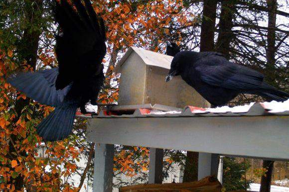 Corvus brachyrhynchos (American Crow)