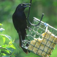 Quiscalus quiscula (Grackle)